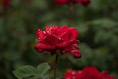 Κόκκινος αυξήθηκε στη βροχή Στοκ εικόνα με δικαίωμα ελεύθερης χρήσης