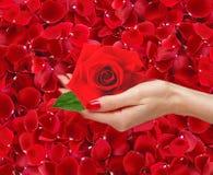 Κόκκινος αυξήθηκε στη γυναίκα παραδίδει όμορφο κόκκινο αυξήθηκε πέταλα Στοκ εικόνες με δικαίωμα ελεύθερης χρήσης