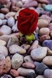 Κόκκινος αυξήθηκε στις πέτρες θάλασσας Στοκ εικόνες με δικαίωμα ελεύθερης χρήσης