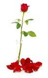 Κόκκινος αυξήθηκε στο βάζο με τα πέταλα και τις χάντρες Στοκ Φωτογραφία