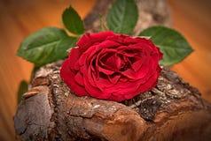 Κόκκινος αυξήθηκε στο δρύινο ξύλο Στοκ Φωτογραφίες