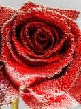 κόκκινος αυξήθηκε υγρός Στοκ Εικόνες