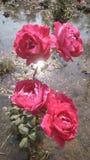 Κόκκινος αυξήθηκε φωτογραφία λουλουδιών στοκ φωτογραφία