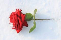 κόκκινος αυξήθηκε χιόνι Στοκ Εικόνες