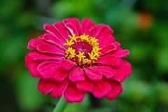 Λουλούδι της Zinnia Στοκ εικόνες με δικαίωμα ελεύθερης χρήσης