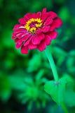 Λουλούδι της Zinnia Στοκ εικόνα με δικαίωμα ελεύθερης χρήσης