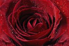 κόκκινος αυξήθηκε Στοκ Φωτογραφίες