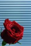 κόκκινος αυξήθηκε Στοκ φωτογραφίες με δικαίωμα ελεύθερης χρήσης