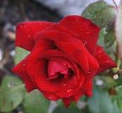 κόκκινος αυξήθηκε Στοκ φωτογραφία με δικαίωμα ελεύθερης χρήσης
