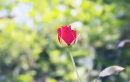 Κόκκινος αυξήθηκε, floral υπόβαθρο Στοκ Φωτογραφία