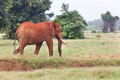 Κόκκινος αφρικανικός ελέφαντας στην Κένυα Στοκ Εικόνα