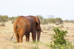 Κόκκινος αφρικανικός ελέφαντας στην Κένυα Στοκ Εικόνες