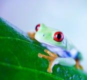 Κόκκινος βάτραχος δέντρων ματιών στο φύλλο στο ζωηρόχρωμο υπόβαθρο Στοκ φωτογραφία με δικαίωμα ελεύθερης χρήσης