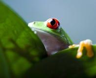 Κόκκινος βάτραχος δέντρων ματιών στο φύλλο Στοκ εικόνες με δικαίωμα ελεύθερης χρήσης