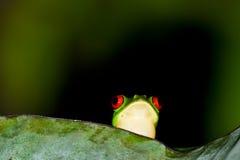 Κόκκινος βάτραχος δέντρων ματιών Στοκ Εικόνες