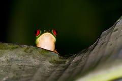 Κόκκινος βάτραχος δέντρων ματιών Στοκ φωτογραφίες με δικαίωμα ελεύθερης χρήσης