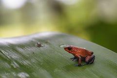 Κόκκινος βάτραχος βελών δηλητήριων - pumilio Oophaga Στοκ εικόνες με δικαίωμα ελεύθερης χρήσης