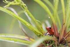 Κόκκινος βάτραχος βελών δηλητήριων - pumilio Oophaga Στοκ εικόνα με δικαίωμα ελεύθερης χρήσης