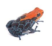 Κόκκινος βάτραχος βελών δηλητήριων που απομονώνεται Στοκ φωτογραφία με δικαίωμα ελεύθερης χρήσης