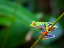 Κόκκινος βάτραχος ματιών Στοκ Εικόνες