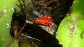 Κόκκινος βάτραχος Στοκ φωτογραφία με δικαίωμα ελεύθερης χρήσης