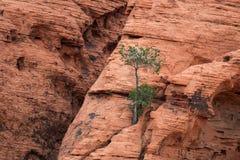 Κόκκινος βράχος με ένα μόνο δέντρο στα κόκκινα εθνικά μειονεκτήματα φαραγγιών βράχου Στοκ Φωτογραφίες
