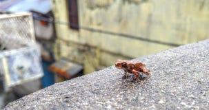 Κόκκινος βροχερός βάτραχος στοκ φωτογραφία με δικαίωμα ελεύθερης χρήσης