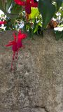 Κόκκινος γκρίζος τοίχος λουλουδιών στοκ φωτογραφία με δικαίωμα ελεύθερης χρήσης