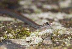Κόκκινος-διογκωμένο φίδι στη Νέα Υόρκη Στοκ Εικόνα
