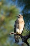 Κόκκινος-επωμισμένο γεράκι (lineatus Buneo) στοκ εικόνες