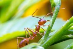 Κόκκινος εργαζόμενος μυρμηγκιών πυρκαγιάς στο δέντρο Στοκ Εικόνες