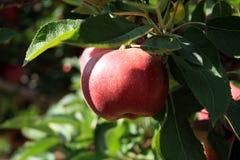 Κόκκινος - εύγευστο μήλο στο δέντρο μηλιάς Στοκ Φωτογραφίες