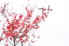 Κόκκινος ελαιόπρινος μούρων διακοσμήσεων Χριστουγέννων Στοκ εικόνες με δικαίωμα ελεύθερης χρήσης