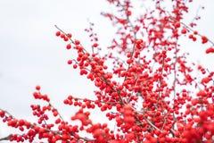 Κόκκινος ελαιόπρινος μούρων διακοσμήσεων Χριστουγέννων Στοκ Φωτογραφία