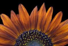 κόκκινος ηλίανθος helianthus annuus μαύ Στοκ φωτογραφίες με δικαίωμα ελεύθερης χρήσης