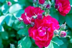 Κόκκινος θάμνος τριαντάφυλλων στο πράσινο υπόβαθρο κήπων στοκ φωτογραφία