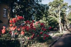 Κόκκινος θάμνος τριαντάφυλλων με πολλά λουλούδια Στην πόλη κατά τη διάρκεια του καλοκαιριού Στοκ εικόνες με δικαίωμα ελεύθερης χρήσης