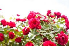 Κόκκινος θάμνος τριαντάφυλλων στον κήπο Στοκ Φωτογραφίες