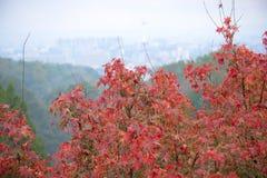 Κόκκινος ιαπωνικός κήπος φθινοπώρου Στοκ Φωτογραφία