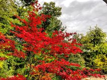 Κόκκινος ιαπωνικός σφένδαμνος στοκ εικόνα με δικαίωμα ελεύθερης χρήσης