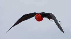 Κόκκινος-διογκωμένη φρεγάτα κατά την πτήση galapagos νησιά ηξών Ισημερινός στοκ φωτογραφία με δικαίωμα ελεύθερης χρήσης