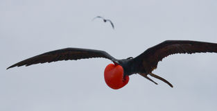Κόκκινος-διογκωμένη φρεγάτα κατά την πτήση galapagos νησιά ηξών Ισημερινός στοκ φωτογραφία