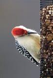 Κόκκινος-διογκωμένος αρσενικό δρυοκολάπτης (carolinus Melanerpes) Στοκ φωτογραφίες με δικαίωμα ελεύθερης χρήσης