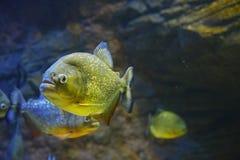 Κόκκινος-διογκωμένο piranha που κοιτάζει επίμονα σε σας Στοκ Εικόνες