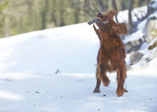 Κόκκινος ιρλανδικός ρυθμιστής στο χιόνι το χειμώνα Στοκ Φωτογραφία