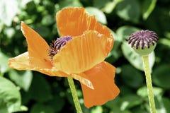 Κόκκινος κήπος λουλουδιών παπαρουνών που ανθίζουν την άνοιξη στοκ εικόνες