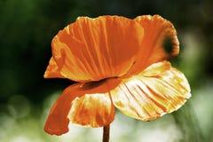 Κόκκινος κήπος λουλουδιών παπαρουνών που ανθίζουν την άνοιξη στοκ εικόνες με δικαίωμα ελεύθερης χρήσης