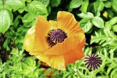 Κόκκινος κήπος λουλουδιών παπαρουνών που ανθίζουν την άνοιξη στοκ φωτογραφία με δικαίωμα ελεύθερης χρήσης