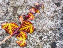 Κόκκινος και κίτρινος τοίχος πετρών κισσών Στοκ Εικόνες