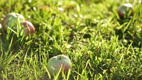Κόκκινος και πράσινος ρόλος μήλων στη χλόη απόθεμα βίντεο